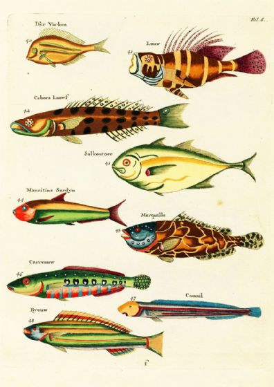 Renard, Louis: Illustrations of Marine Life Found in Moluccas (Indonesia). Art Print/Poster (4972)